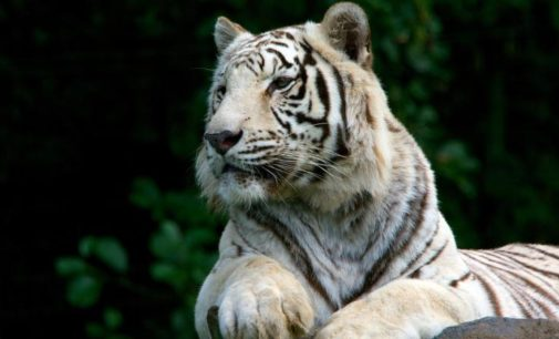 Animal Keeper Killed By White Tiger Cubs In Bengaluru Park