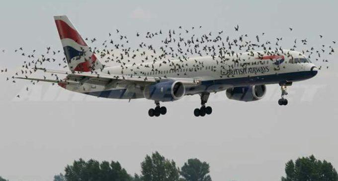 Birds Attack  On  British Airways