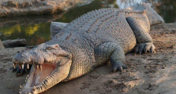 Crocodiles enter Vadodara city after heavy rains